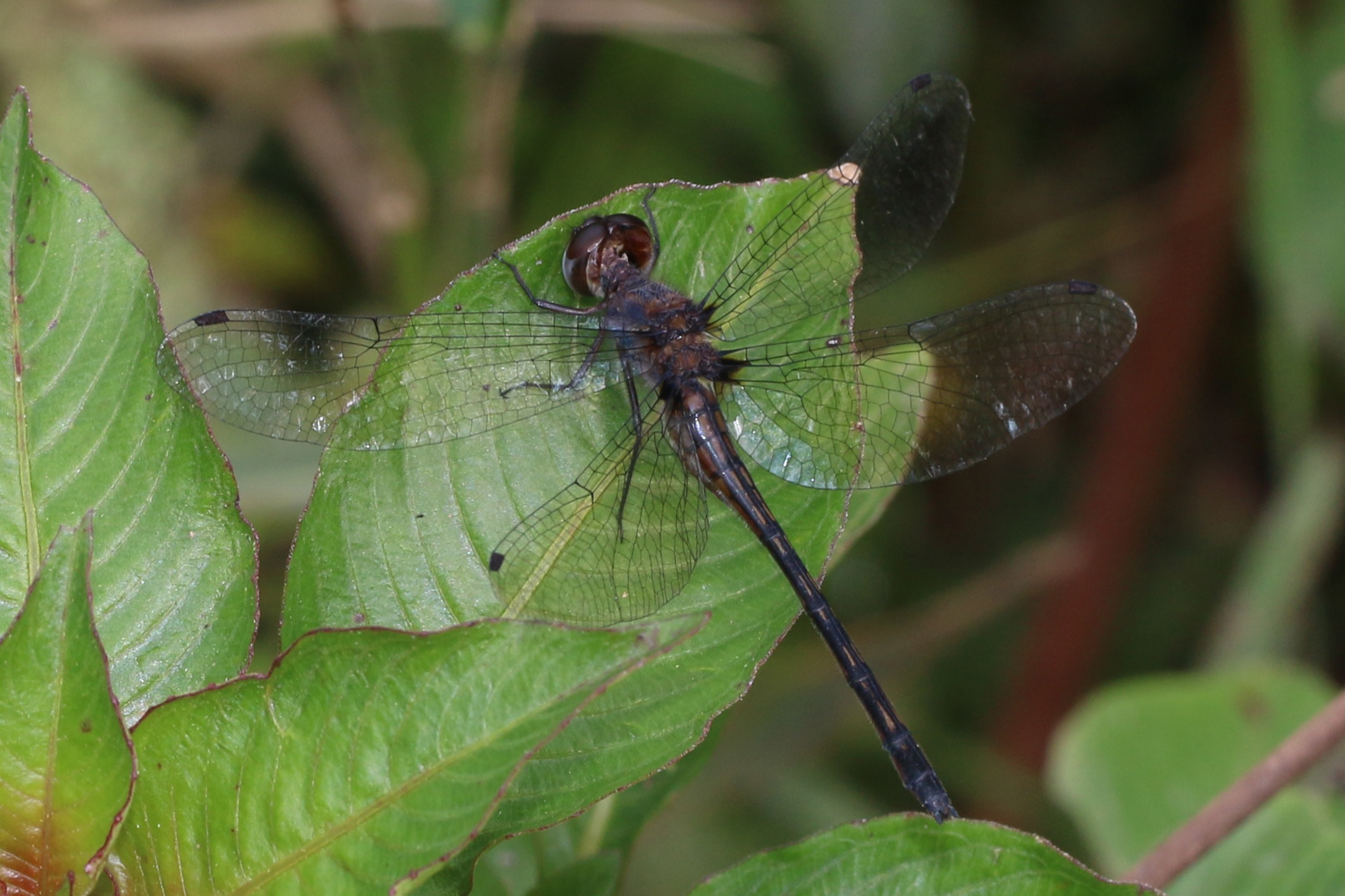 First photo of female Ivory-fronted Sylph <em>Macrothemis capitata</em> at Tres Picos (© Tom Kompier)