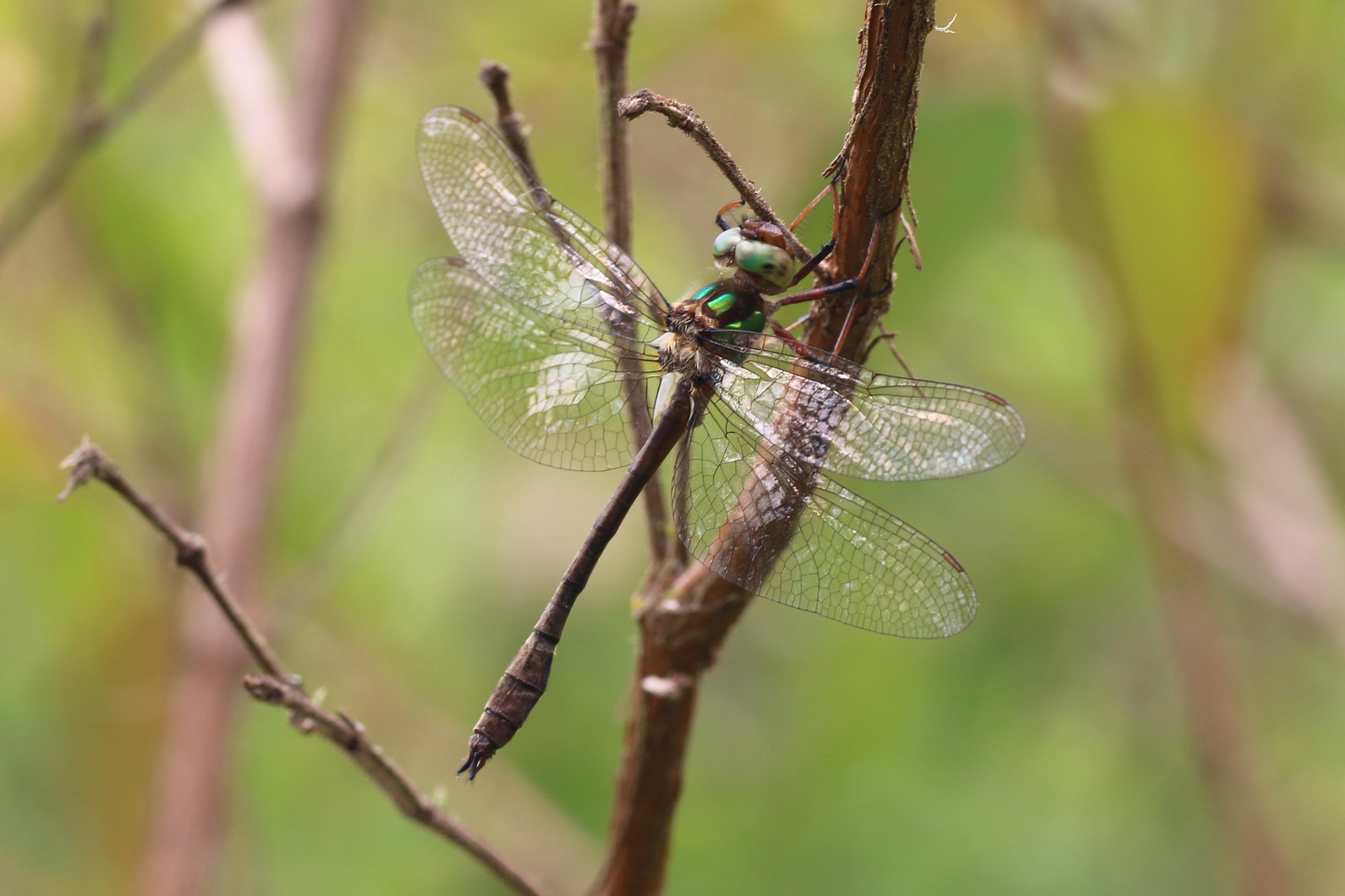 Chagas's Emerald <em>Neocordulia carlochagasi</em> at Tres Picos (© Tom Kompier)