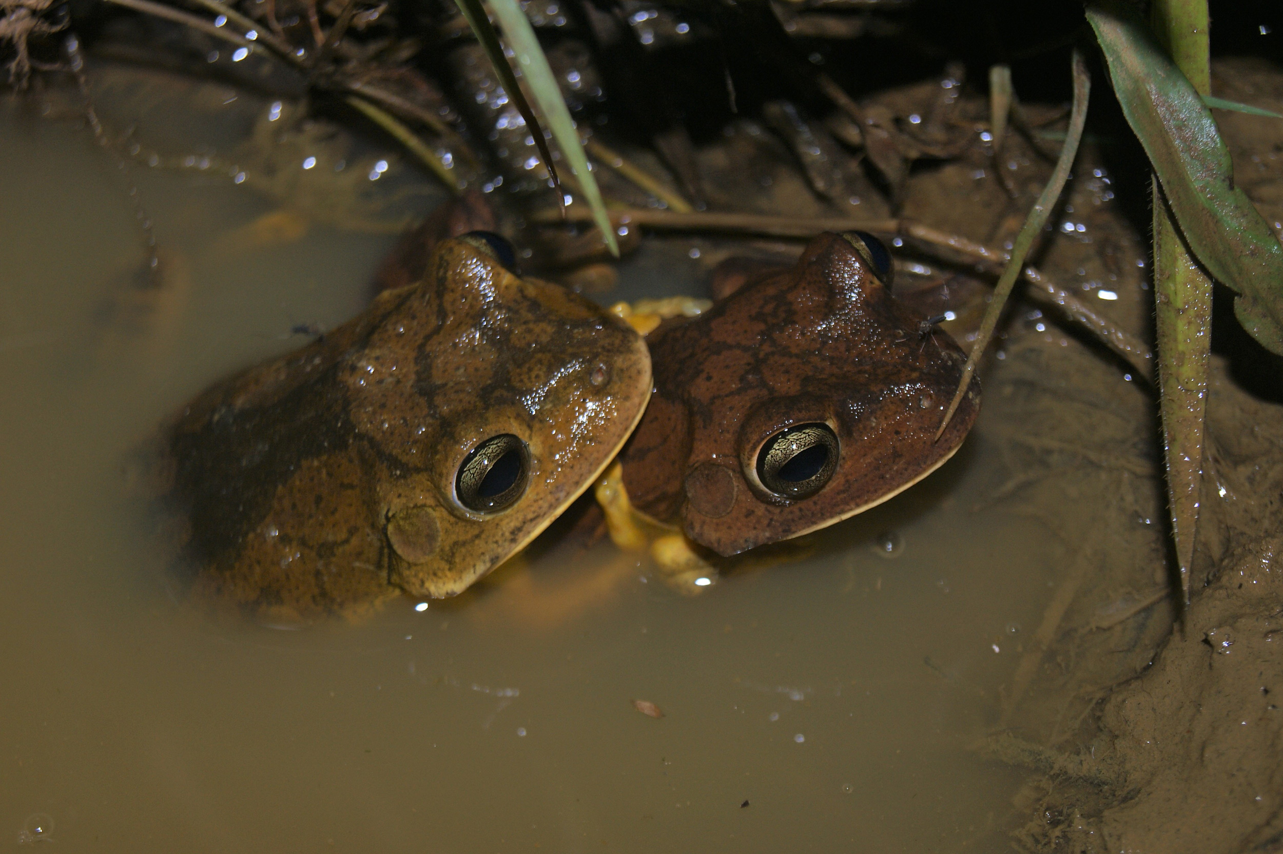 "A pair of Blacksmith Tree Frogs <em>Boana faber</em> in a ""pan"" (© Rodrigo Fonseca)"