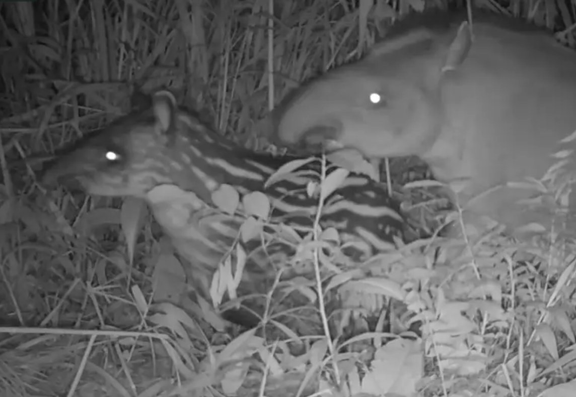 Still taken from camera trap footage of the first wild born Lowland Tapir in Rio de Janeiro state for 100 years (© Adilei Carvalho da Cunha)