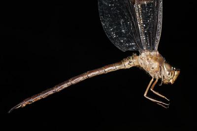 <em>Gynacantha bifida</em> (© Tom Kompier)