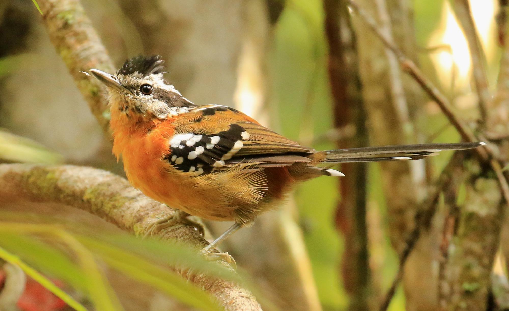 Bertoni's Antbird <em>Drymophila rubricollis</em> (© Nicholas Locke)