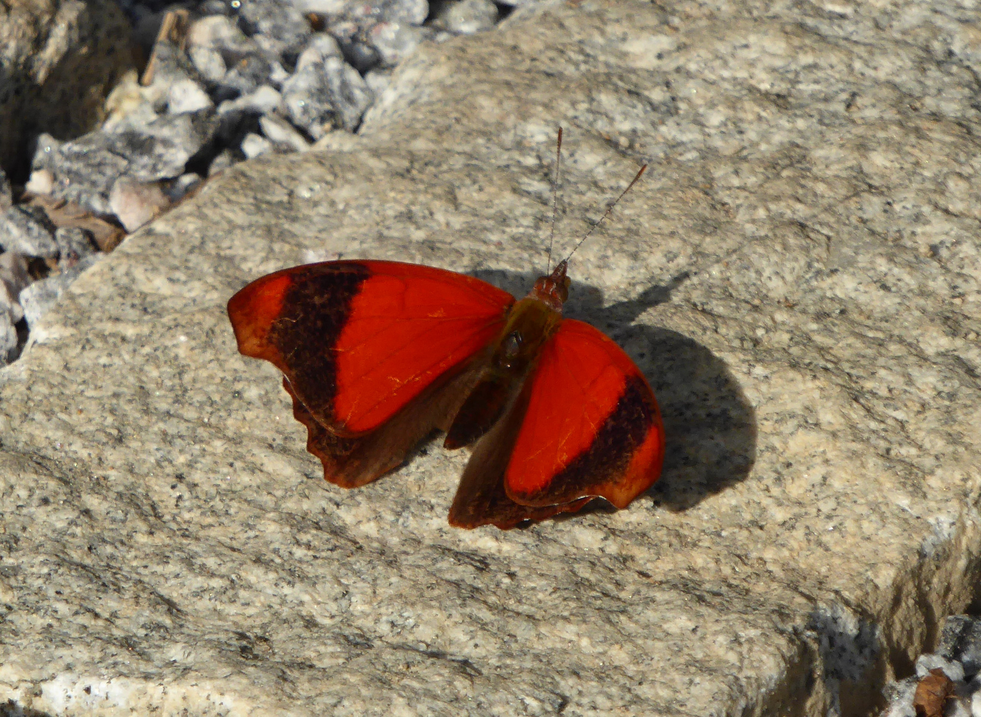 A male <em>Temenis huebneri</em>, the first record of this species for REGUA, photographed on 29 May 2016 (© Robert Locke)