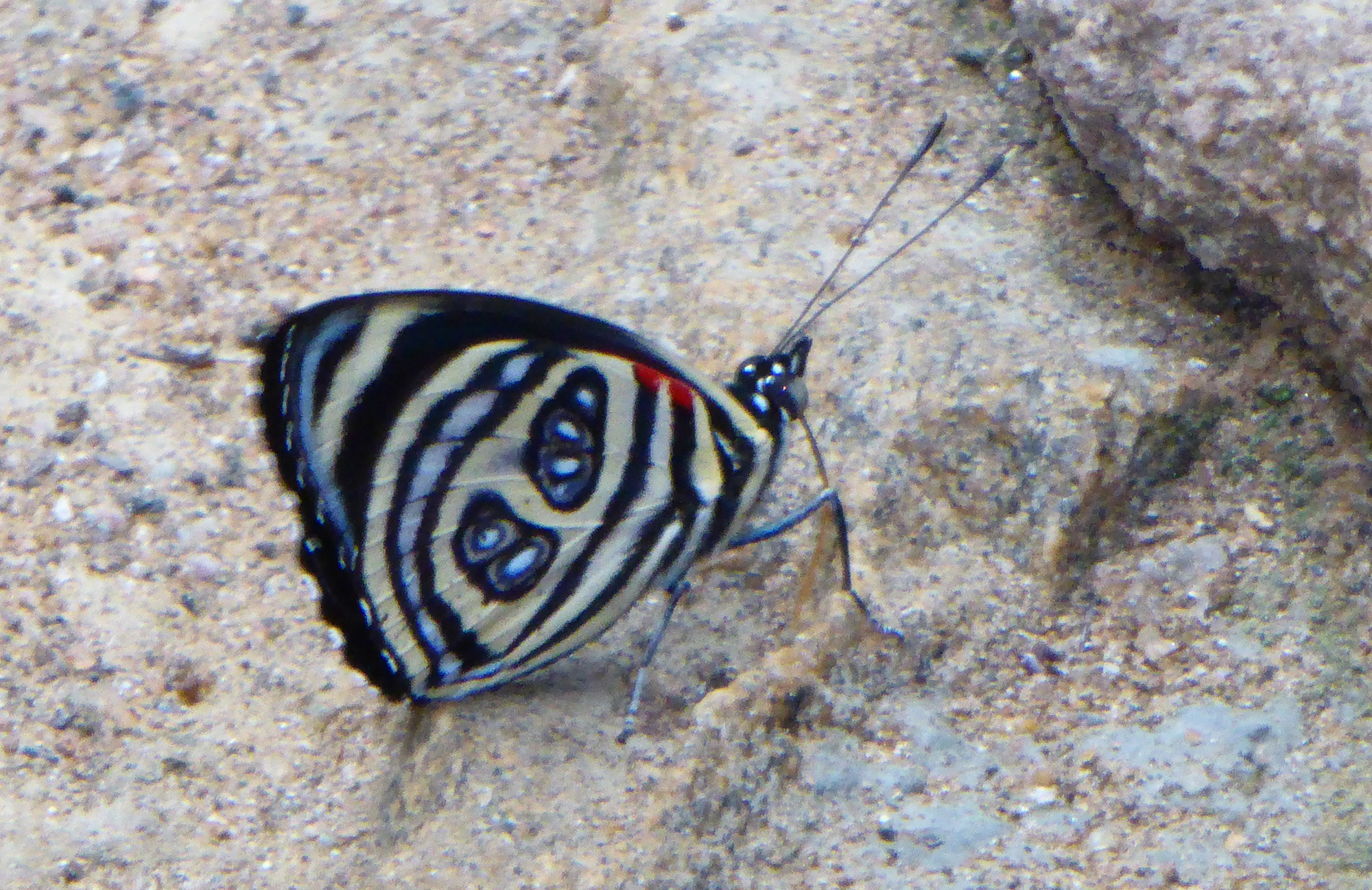 "Pygas eighty-eight <em>Paulogramma pygas</em>, photographed at REGUA, May 2019, showing the ""88"" on the underside of the hindwing (© Robert Locke)"