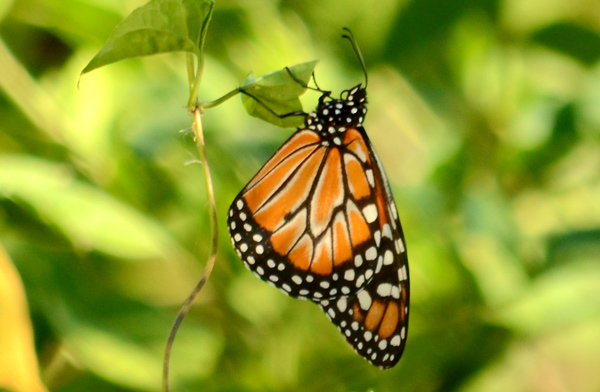 Queen Butterfly <em>Danaus gilippus</em>, REGUA (© by Jorge Bizarro)