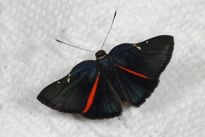 Unidentified metalmark species (© Alan Martin)