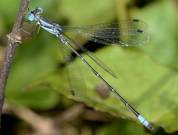 <em>Lestes pictus</em>, new for REGUA, 24 October 2013 (© Dennis Paulson)