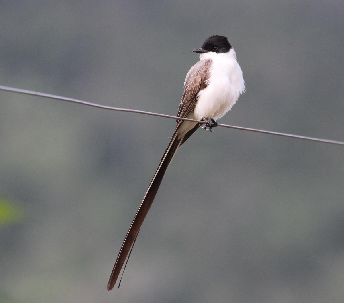 Fork-tailed Flycatcher <em>Tyrannus savana</em> (© Alan Martin)