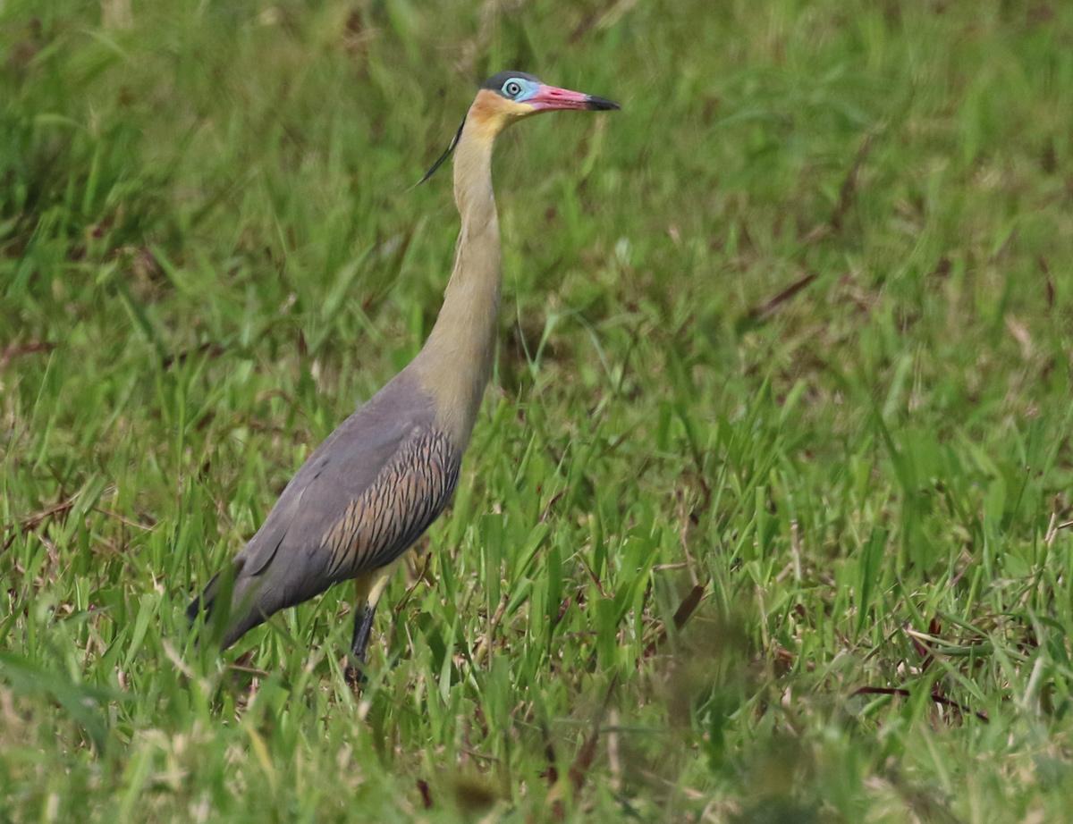 Whistling Heron <em>Syrigma sibilatrix</em> (© Alan Martin)