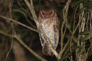 The Black-capped Screech-Owl (Megascops atricapilla) photographed by Adilei Cunha.